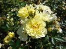 Rosa 'Golden Cover'