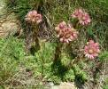 Sempervivum montanum - Mountain House-leek