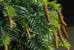 Wollemia nobilis - Wollemi Pine