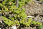 Herniaria glabra - Smooth Rupturewort