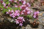 Thymus praecox - Mother of Thyme