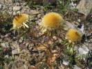 Carlina vulgaris - Carline Thistle