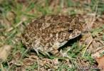 Sclerophrys garmani - Garman's Toad