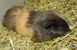 Cavia aperea f. porcellus - Domesticated Guinea Pig