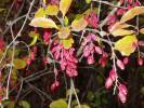 Berberis vulgaris - European Barberry