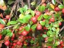 Cotoneaster horizontalis - Wall Cotoneaster