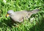 Columbina cruziana - Croaking Ground-dove