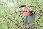Centropus superciliosus burchellii - Burchell's Coucal