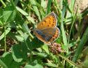 Lycaena hippothoe - Purple-edged Copper