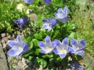 Campanula chamissonis - Hairyflower Bellflower