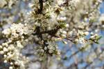 Prunus spinosa - Blackthorn
