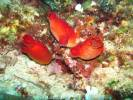 Halocynthia papillosa - Red Sea Squirt