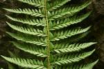 Polystichum aculeatum - Hard Shield-fern