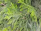 Calocedrus decurrens - Californian Incense-cedar