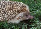 Hemiechinus auritus - Long-eared Hedgehog