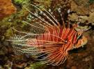 Pterois antennata - Banded Lionfish