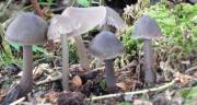 Mycena galericulata - Common Bonnet