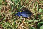 Carabus intricatus - Blue Ground Beetle