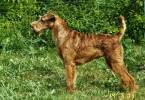 "Canis familiaris ""139 IRT Irish Terrier"" - 0000000001 1"