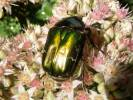 Cetonia aurata - Rose Chafer