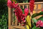 Alpinia purpurata - Red Ginger