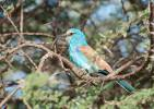Coracias abyssinicus - Abyssinian Roller