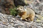 Ochotona rutila - Turkestan Red Pika