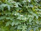 Bryonia dioica - White Bryony