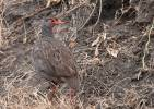 Francolinus afer - Red-necked Spurfowl