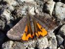 Archiearis notha - Light Orange Underwing