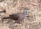 Turtur afer - Blue-spotted Wood-dove