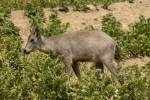 Naemorhedus griseus - Grey Long-tailed Goral
