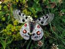 Parnassius apollo rhodopensis