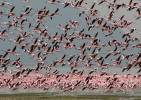 Phoeniconaias minor - Lesser Flamingo