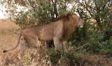 Panthera leo nubica - East African Lion