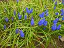 Muscari armeniacum - Garden Grape-hyacinth