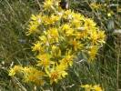 Solidago virgaurea - Goldenrod