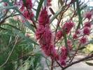 Hakea 'Winter Burgundy'