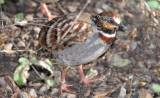 Arborophila gingica - White-necklaced Partridge