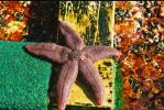 Asterias rubens - Common Starfish