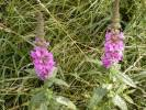 Lythrum salicaria - Purple-loosestrife