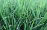 Oryza sativa - Burgundy Rice