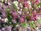 Drosera intermedia - Oblong-leaved Sundew