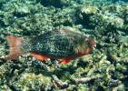 Scarus rubroviolaceus - Black-veined Red Parrotfish