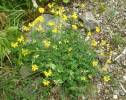 Lotus corniculatus - Common Bird's-foot-trefoil