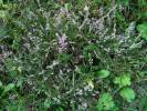 Calluna vulgaris - Heather