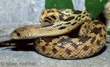 Pituophis deppei - Mexican Bull Snake