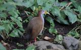 Aramides ypecaha - Giant Wood-rail