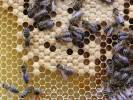 Apis mellifera - Honey Bee