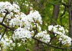 Pyrus ussuriensis - Chinese Pear